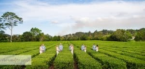 madura_tea_estate_byron_wedding-45